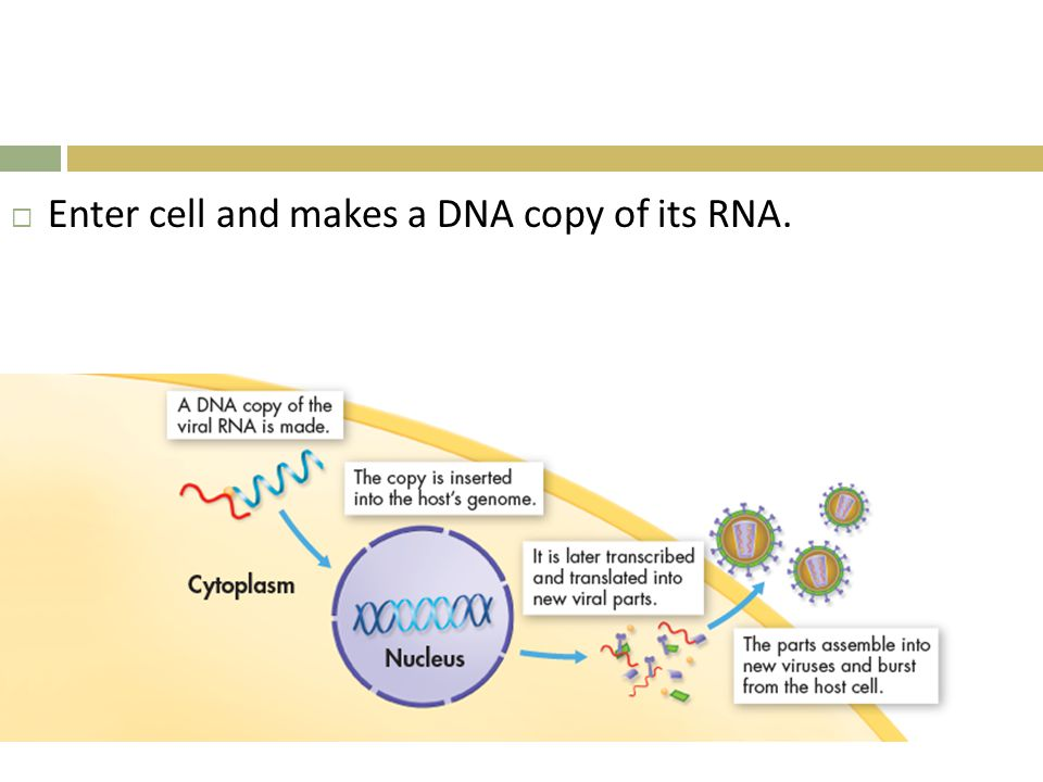 Enter cell and makes a DNA copy of its RNA.