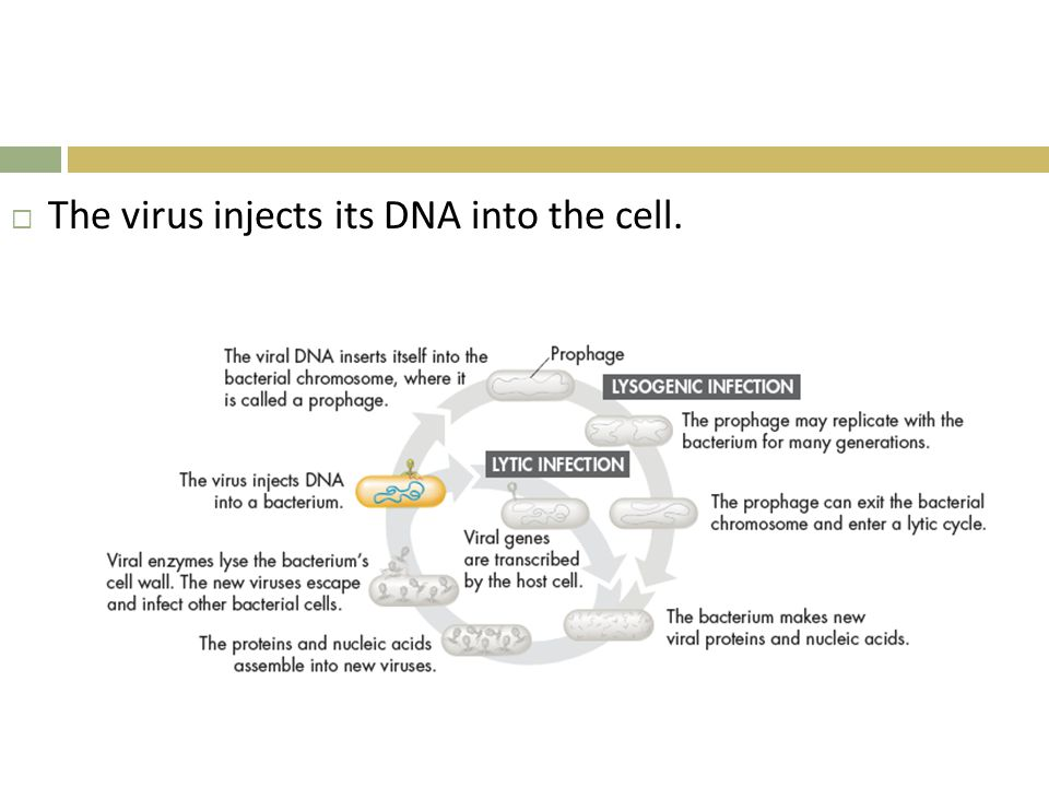 The virus injects its DNA into the cell.