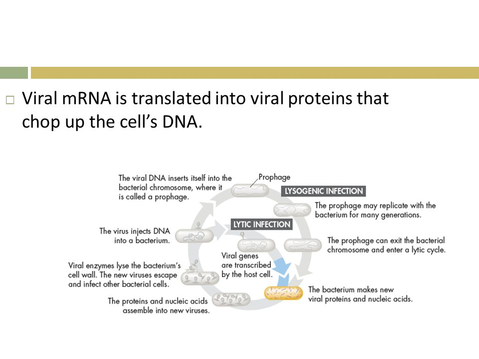 Viral mRNA is translated into viral proteins that chop up the cell's DNA.