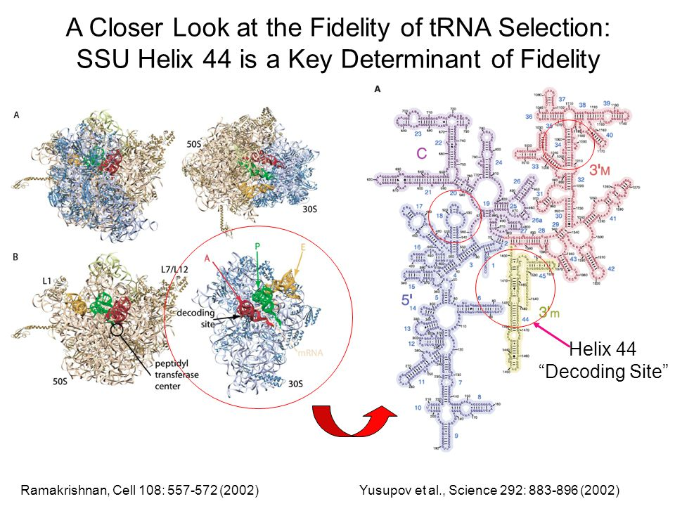 A Closer Look at the Fidelity of tRNA Selection: SSU Helix 44 is a Key Determinant of Fidelity