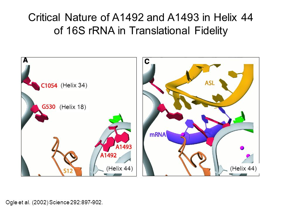 Critical Nature of A1492 and A1493 in Helix 44 of 16S rRNA in Translational Fidelity