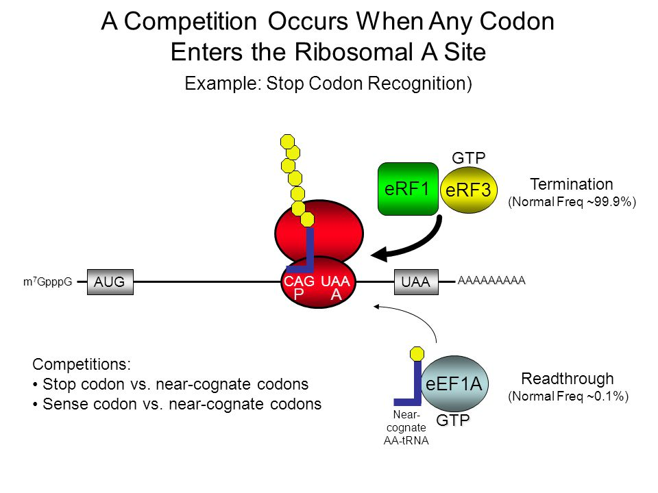 A Competition Occurs When Any Codon Enters the Ribosomal A Site