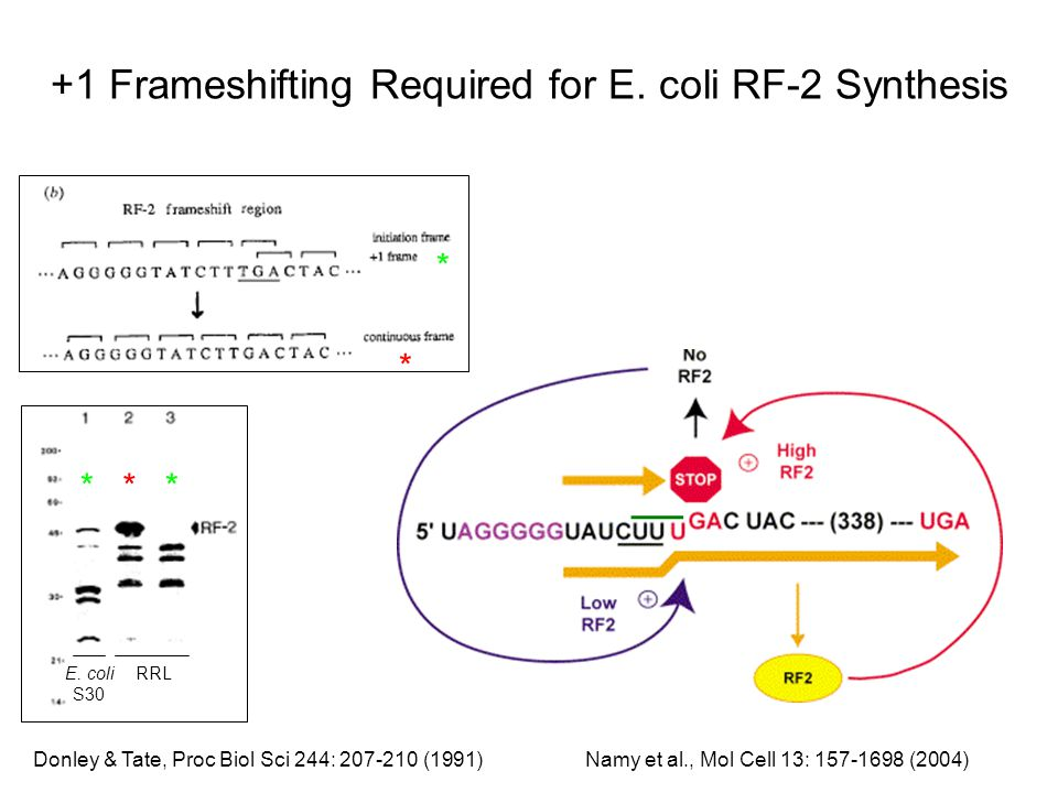 +1 Frameshifting Required for E. coli RF-2 Synthesis