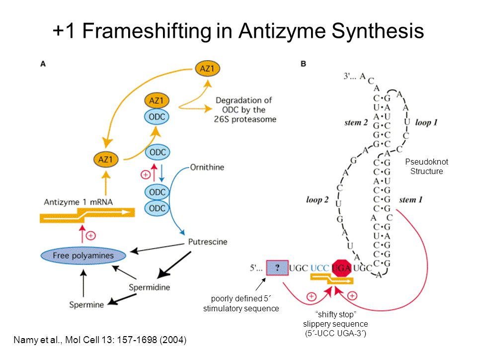 +1 Frameshifting in Antizyme Synthesis