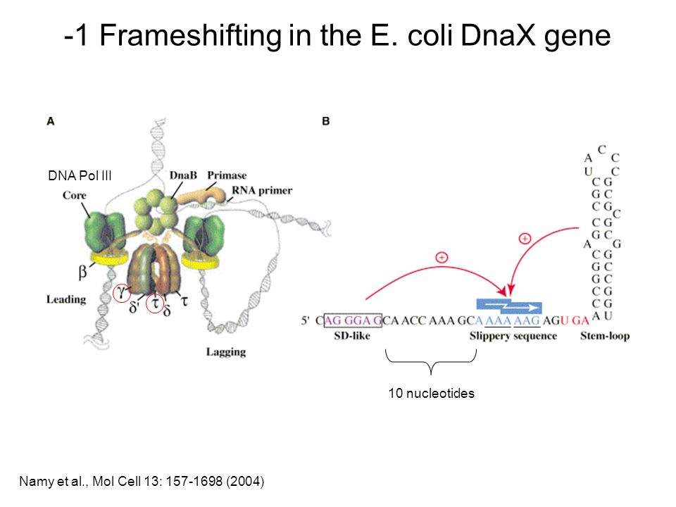 -1 Frameshifting in the E. coli DnaX gene