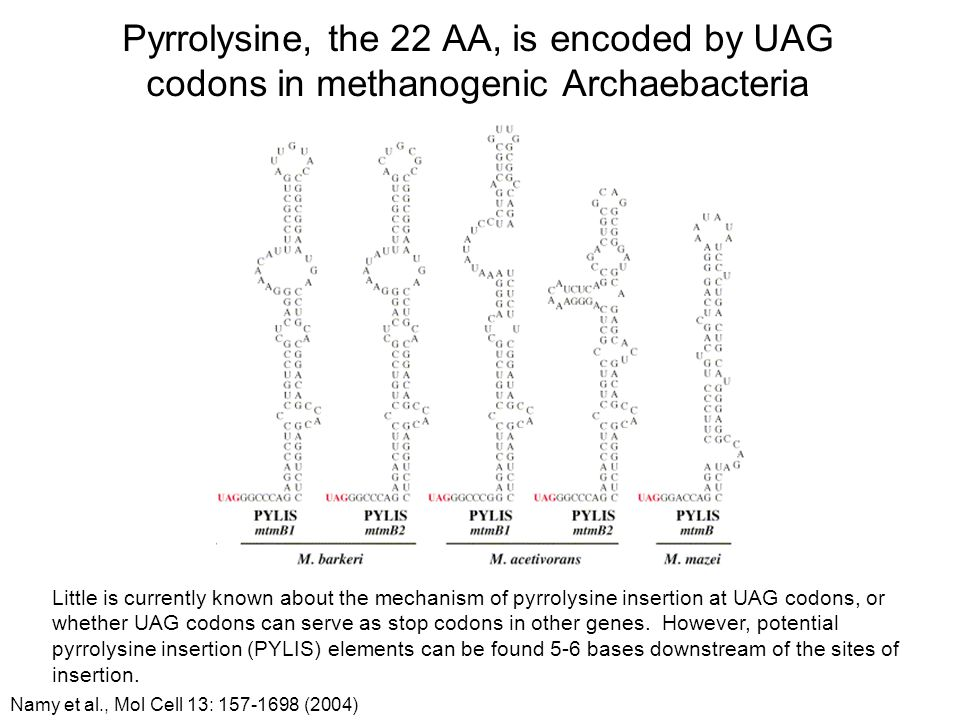 Pyrrolysine, the 22 AA, is encoded by UAG codons in methanogenic Archaebacteria