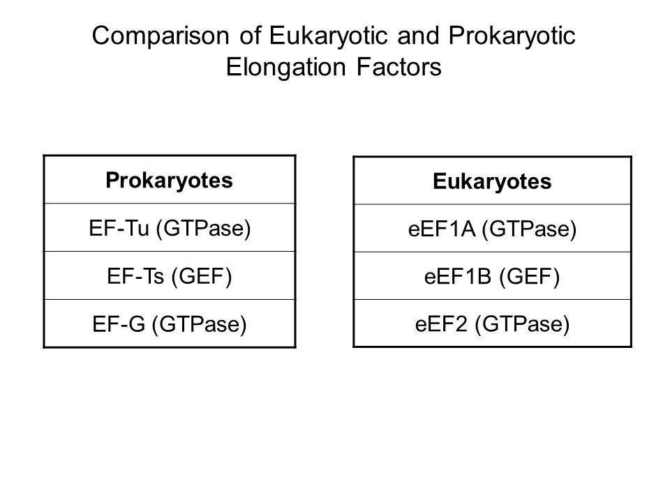Comparison of Eukaryotic and Prokaryotic Elongation Factors