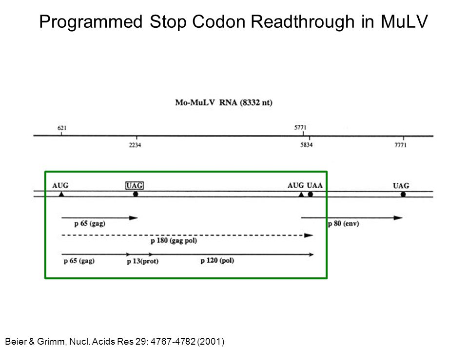 Programmed Stop Codon Readthrough in MuLV
