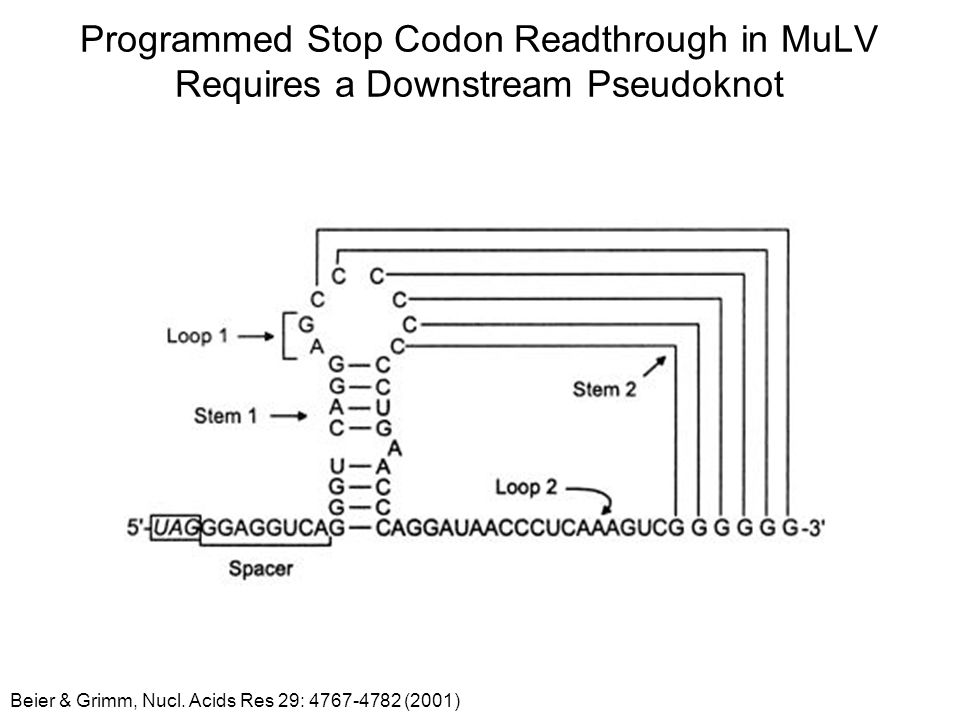 Programmed Stop Codon Readthrough in MuLV Requires a Downstream Pseudoknot