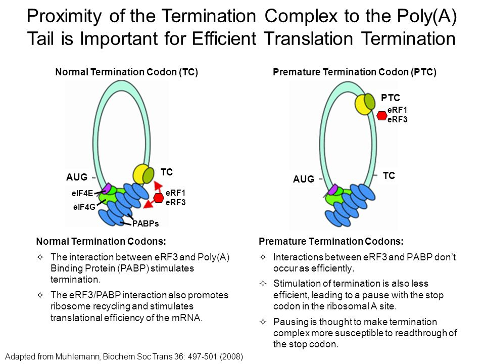 Proximity of the Termination Complex to the Poly(A) Tail is Important for Efficient Translation Termination