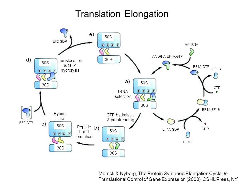 Translation Elongation