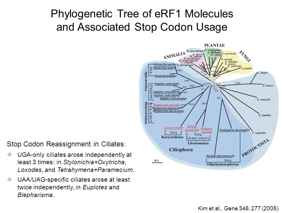 Phylogenetic Tree of eRF1 Molecules and Associated Stop Codon Usage