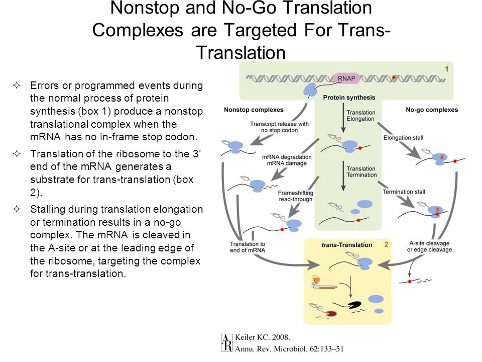 Nonstop and No-Go Translation Complexes are Targeted For Trans-Translation