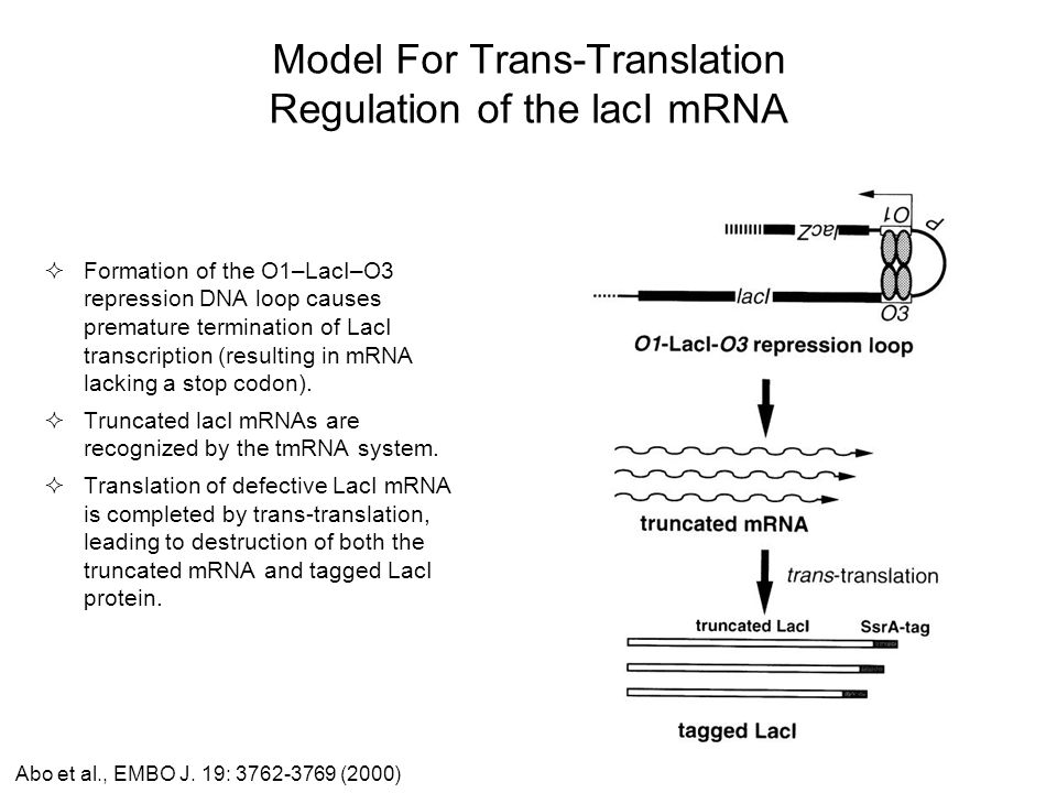 Model For Trans-Translation Regulation of the lacI mRNA