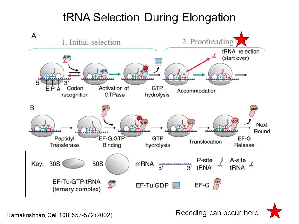 tRNA Selection During Elongation