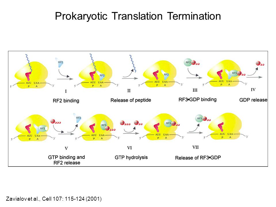Prokaryotic Translation Termination