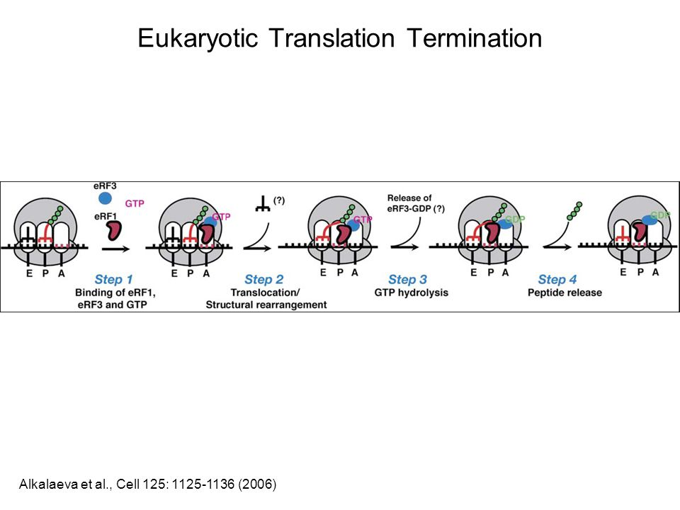 Eukaryotic Translation Termination