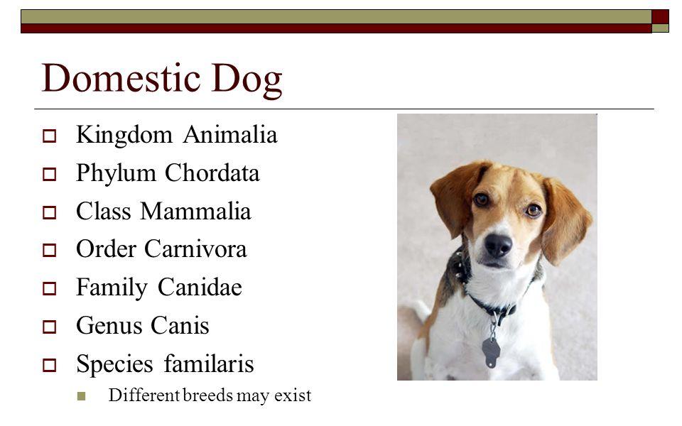 Domestic Dog Kingdom Animalia Phylum Chordata Class Mammalia