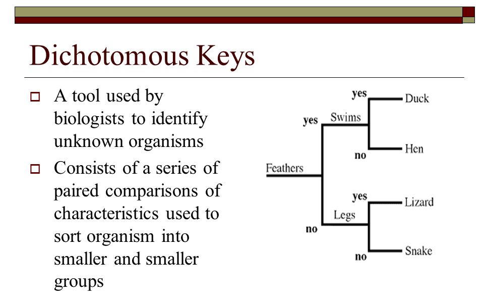 Dichotomous Keys A tool used by biologists to identify unknown organisms.