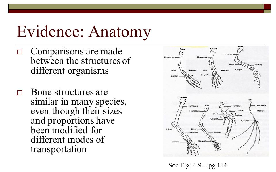 Evidence: Anatomy Comparisons are made between the structures of different organisms.