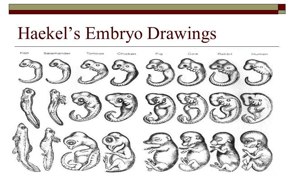 Haekel's Embryo Drawings