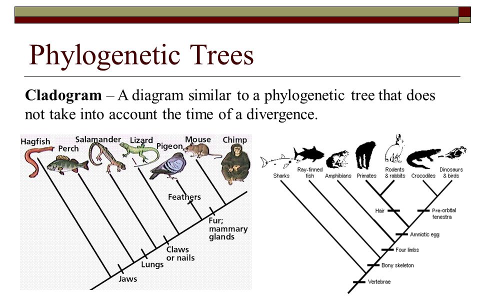 Phylogenetic Trees Cladogram – A diagram similar to a phylogenetic tree that does not take into account the time of a divergence.