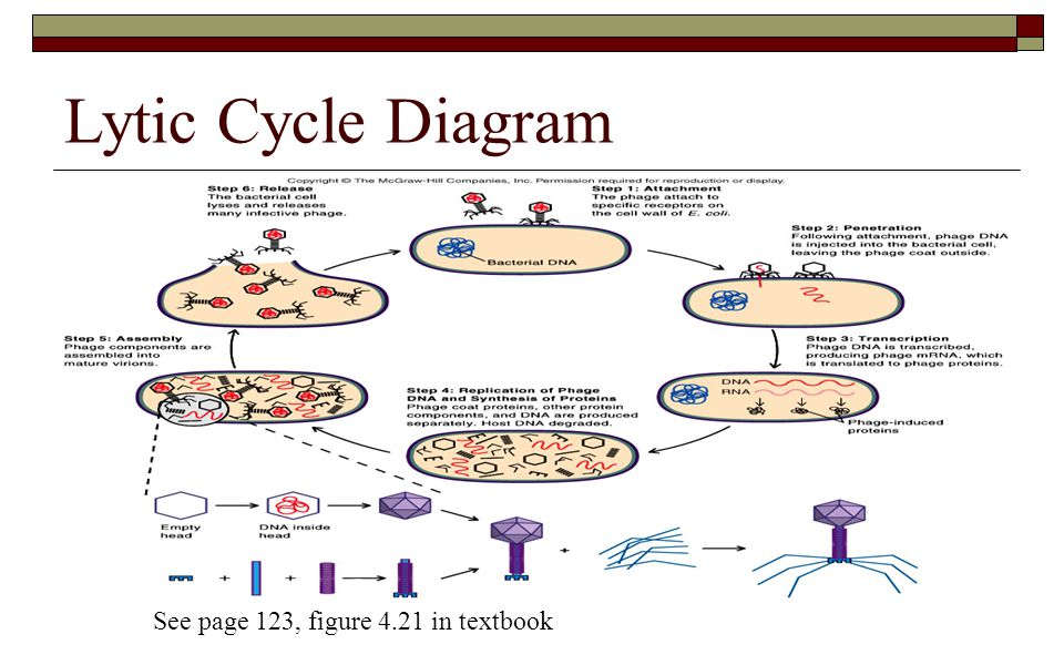 Lytic Cycle Diagram See page 123, figure 4.21 in textbook