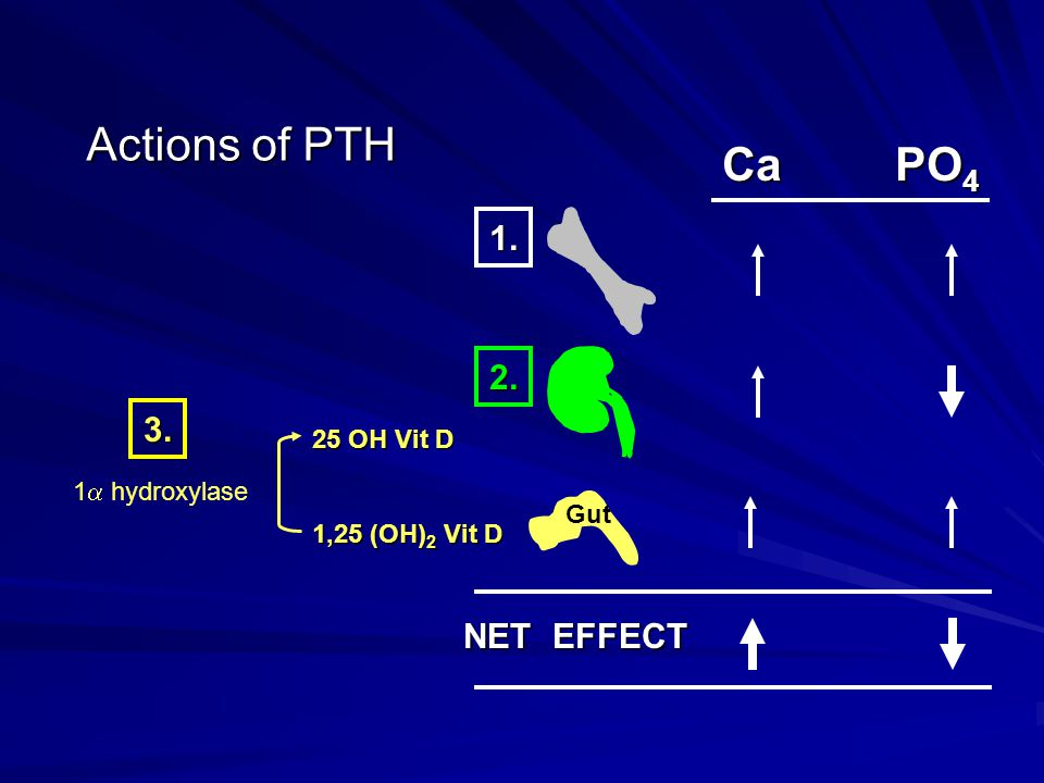 Actions of PTH Ca PO4 1. 2. 3. NET EFFECT 25 OH Vit D 1,25 (OH)2 Vit D