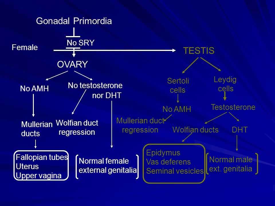 Gonadal Primordia TESTIS OVARY No SRY Female No AMH No testosterone