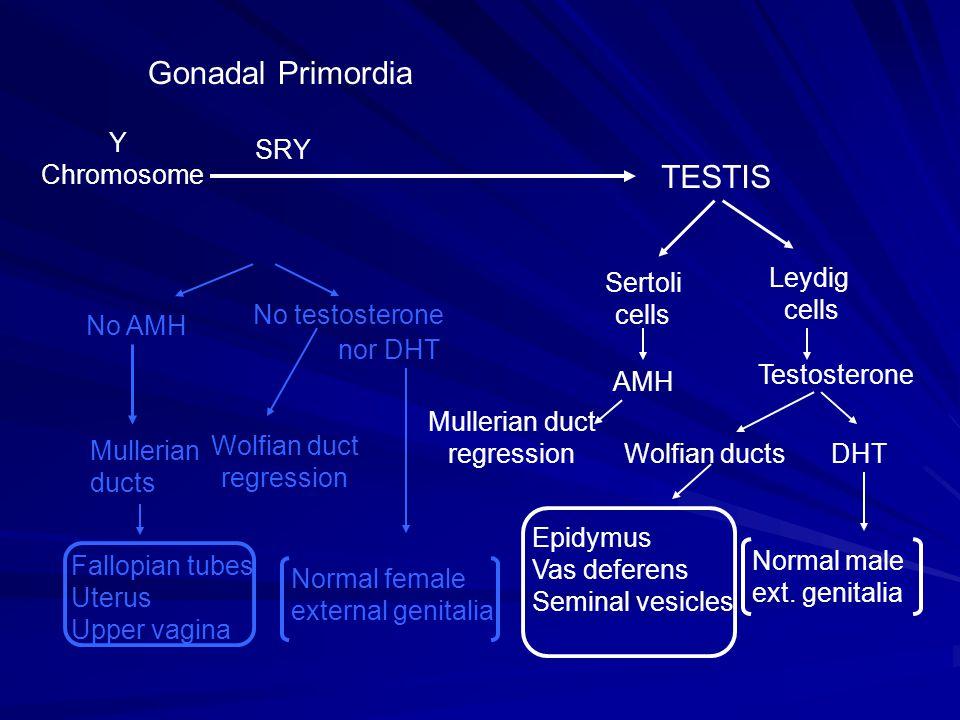 Gonadal Primordia TESTIS Y Chromosome SRY Leydig cells Sertoli No AMH