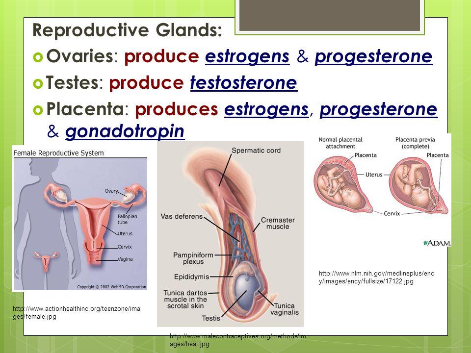 Ovaries: produce estrogens & progesterone Testes: produce testosterone