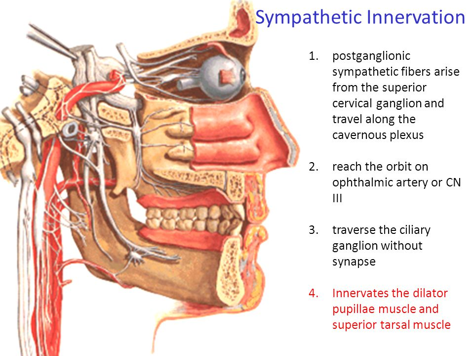 Sympathetic Innervation
