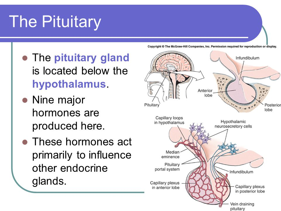 The Pituitary The pituitary gland is located below the hypothalamus.