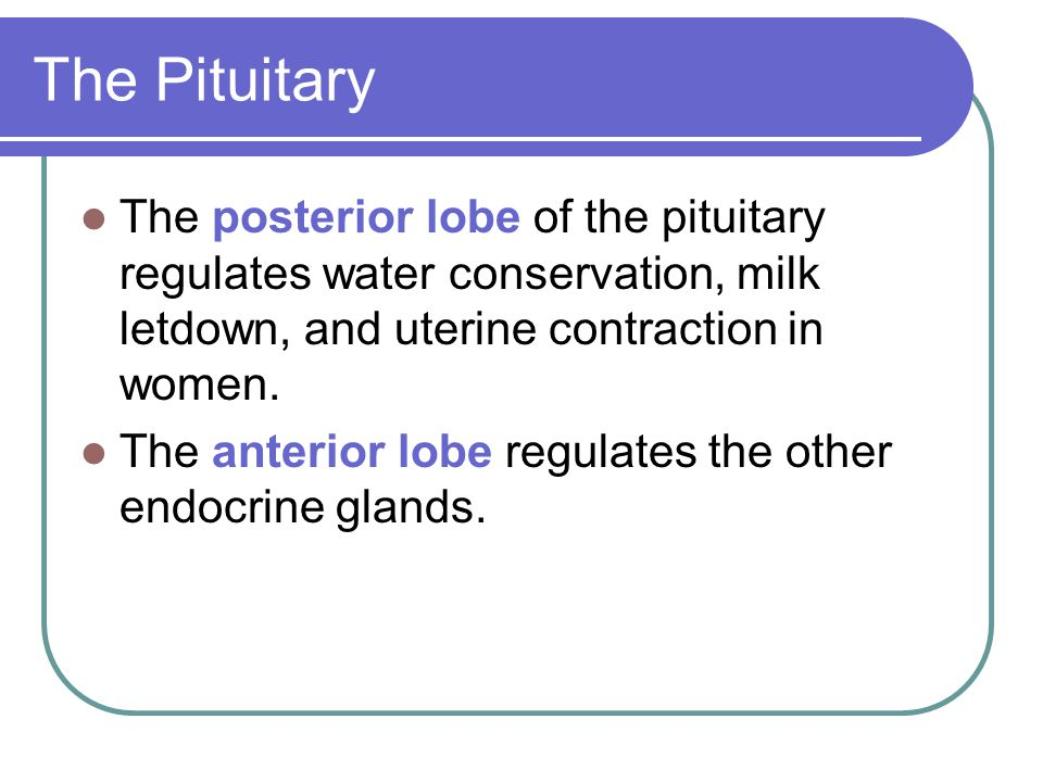 The Pituitary The posterior lobe of the pituitary regulates water conservation, milk letdown, and uterine contraction in women.