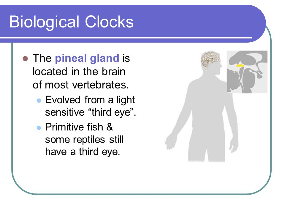 Biological Clocks The pineal gland is located in the brain of most vertebrates. Evolved from a light sensitive third eye .