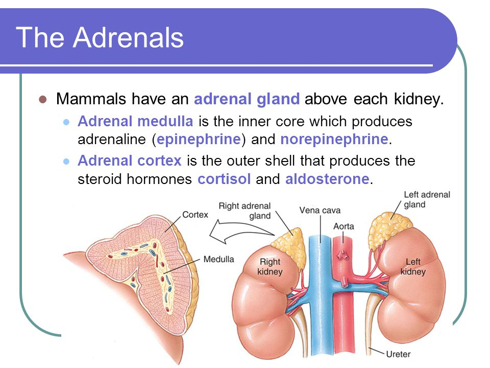 The Adrenals Mammals have an adrenal gland above each kidney.