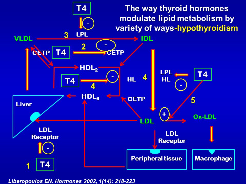 T4 The way thyroid hormones modulate lipid metabolism by variety of ways-hypothyroidism. - 3. LPL.