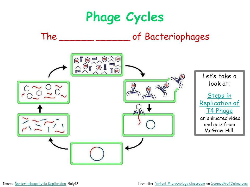 Phage Cycles The ______ ______ of Bacteriophages Let's take a look at:
