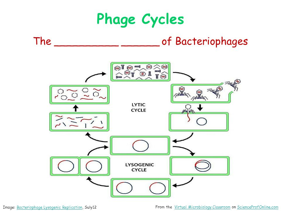 The __________ ______ of Bacteriophages