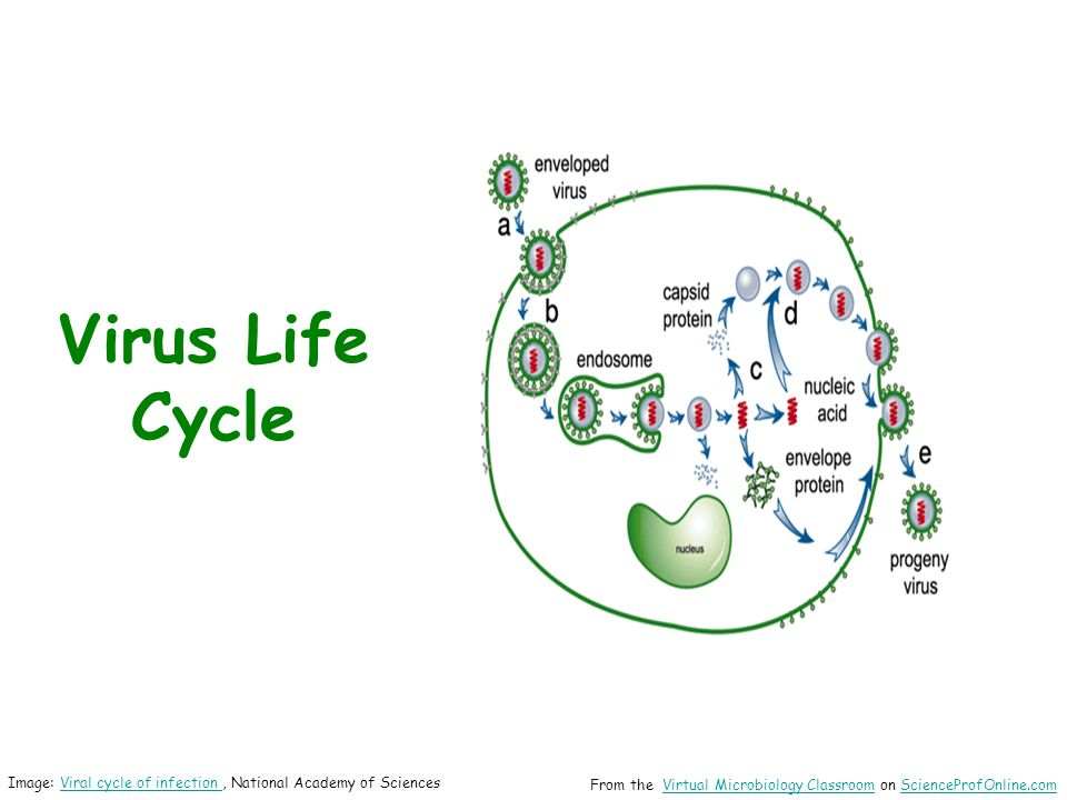 Virus Life Cycle Image: Viral cycle of infection , National Academy of Sciences.