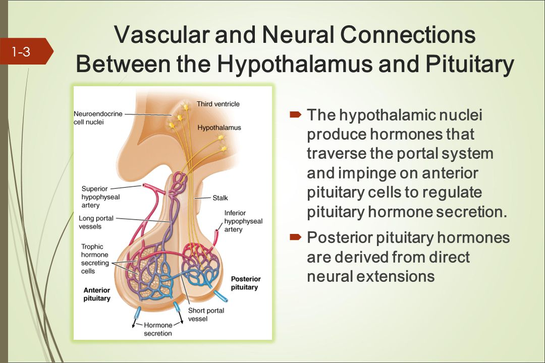 Vascular and Neural Connections Between the Hypothalamus and Pituitary