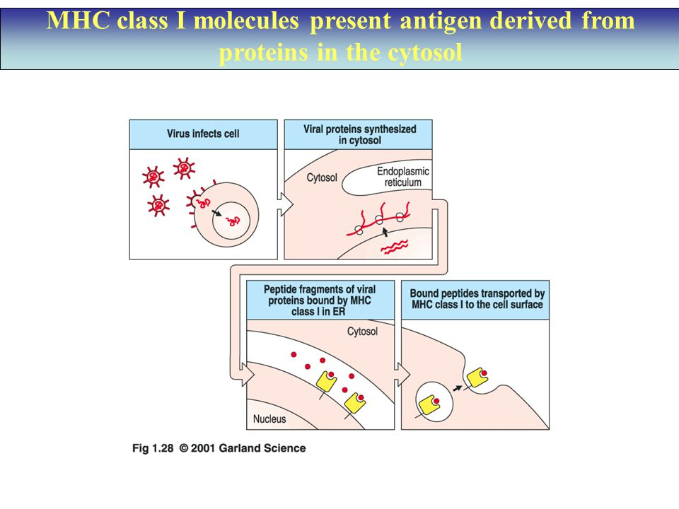 MHC class I molecules present antigen derived from proteins in the cytosol