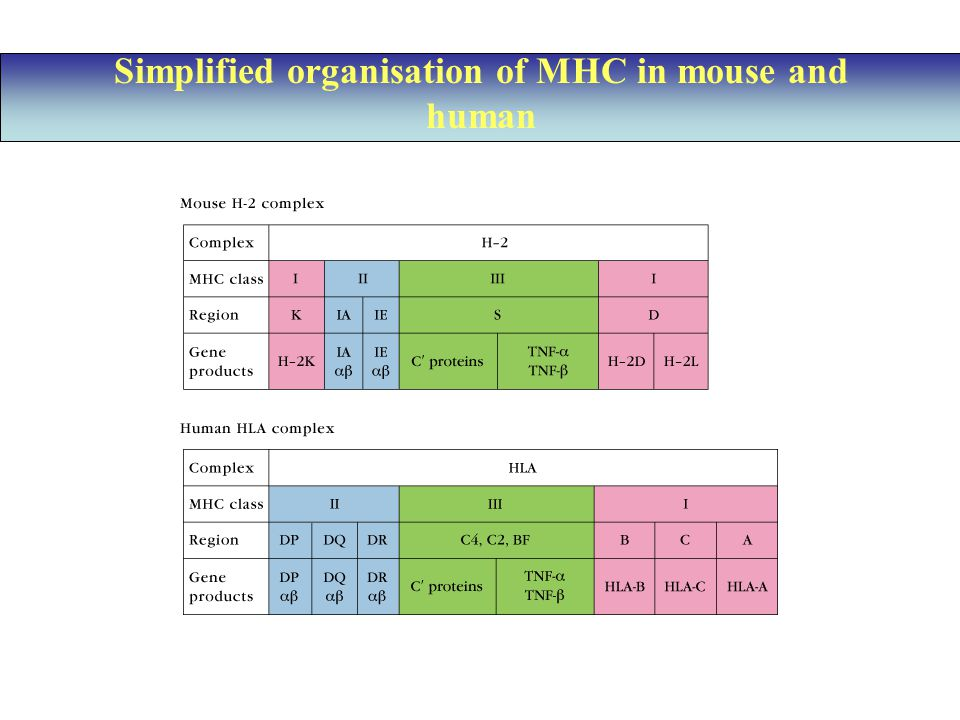 Simplified organisation of MHC in mouse and human