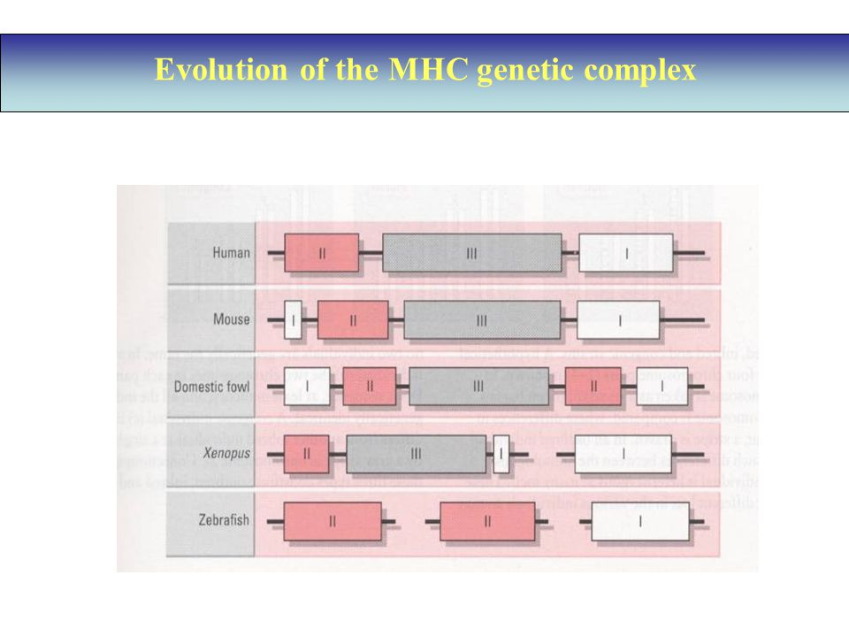 Evolution of the MHC genetic complex