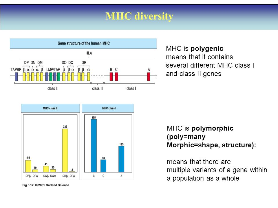 MHC diversity MHC is polygenic means that it contains