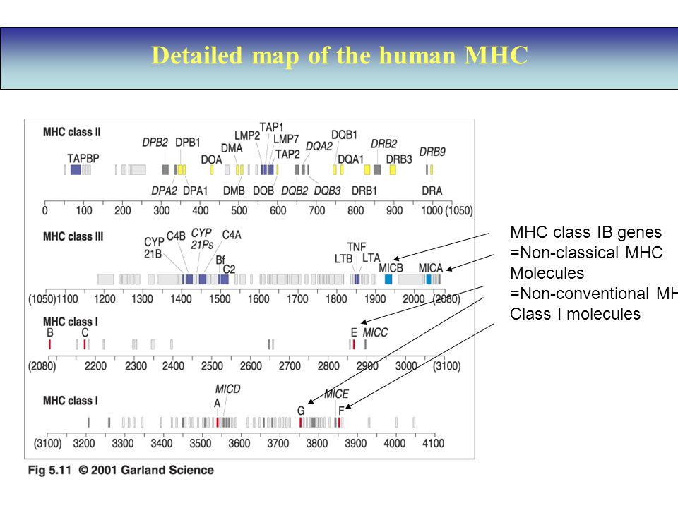Detailed map of the human MHC