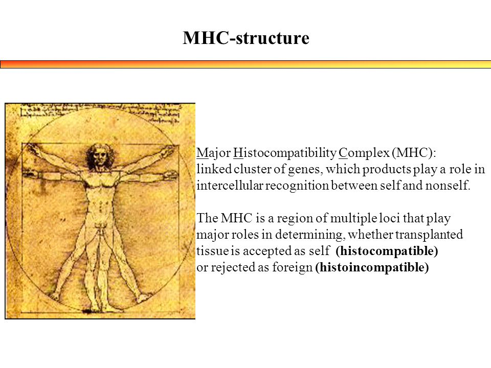 MHC-structure Major Histocompatibility Complex (MHC):