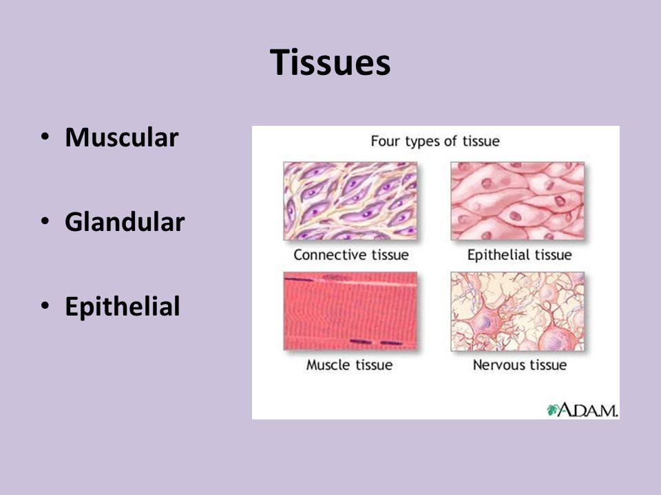 Tissues Muscular Glandular Epithelial