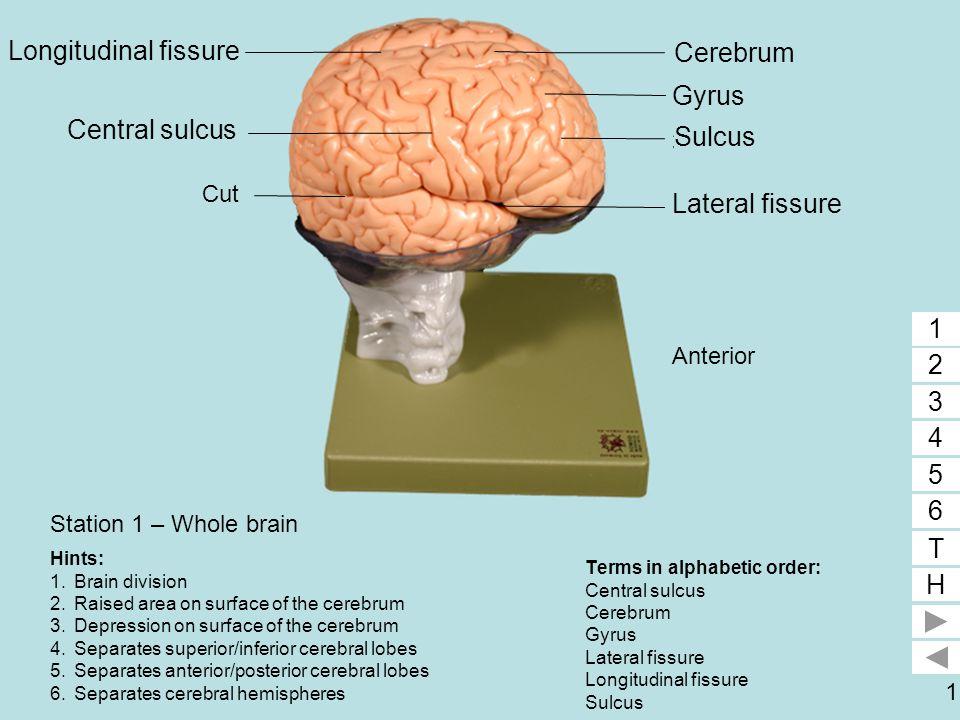 Longitudinal fissure 6 1 Cerebrum Gyrus 2 Central sulcus 5 Sulcus 3
