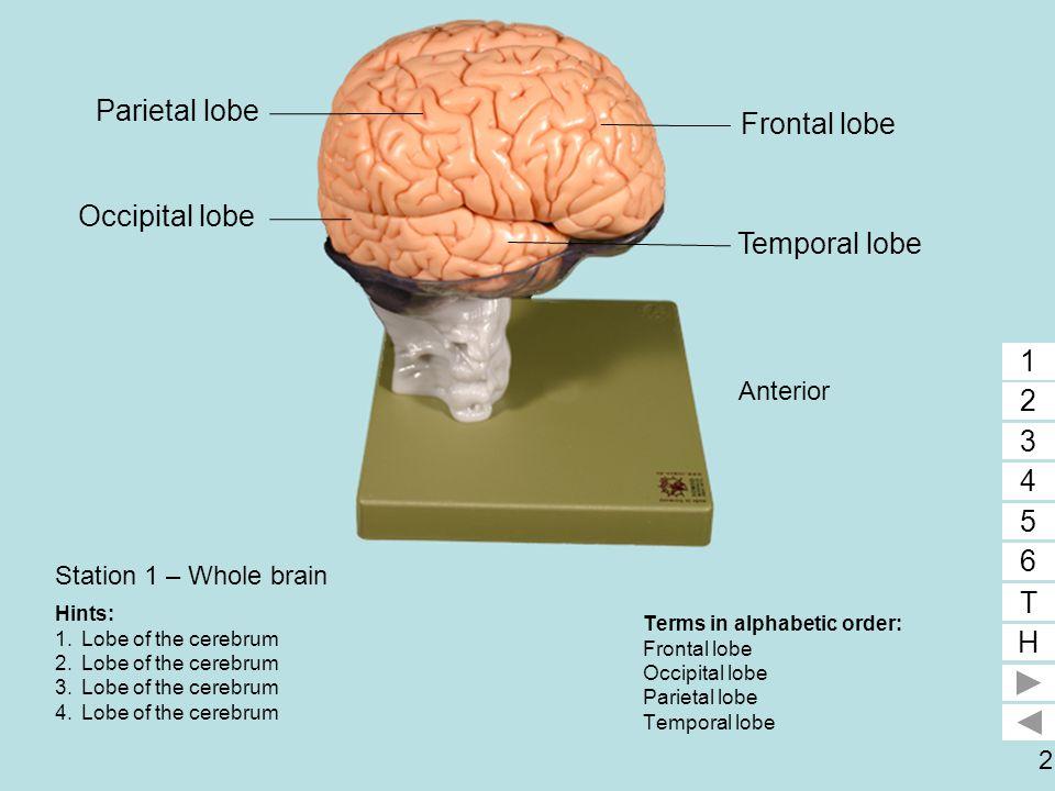 Parietal lobe 4 Frontal lobe 1 Occipital lobe 3 Temporal lobe 2 1 2 3
